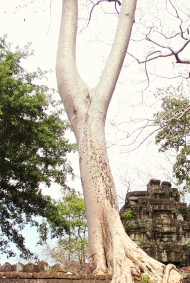 Fig tree on a wall of Ta Prohm temple
