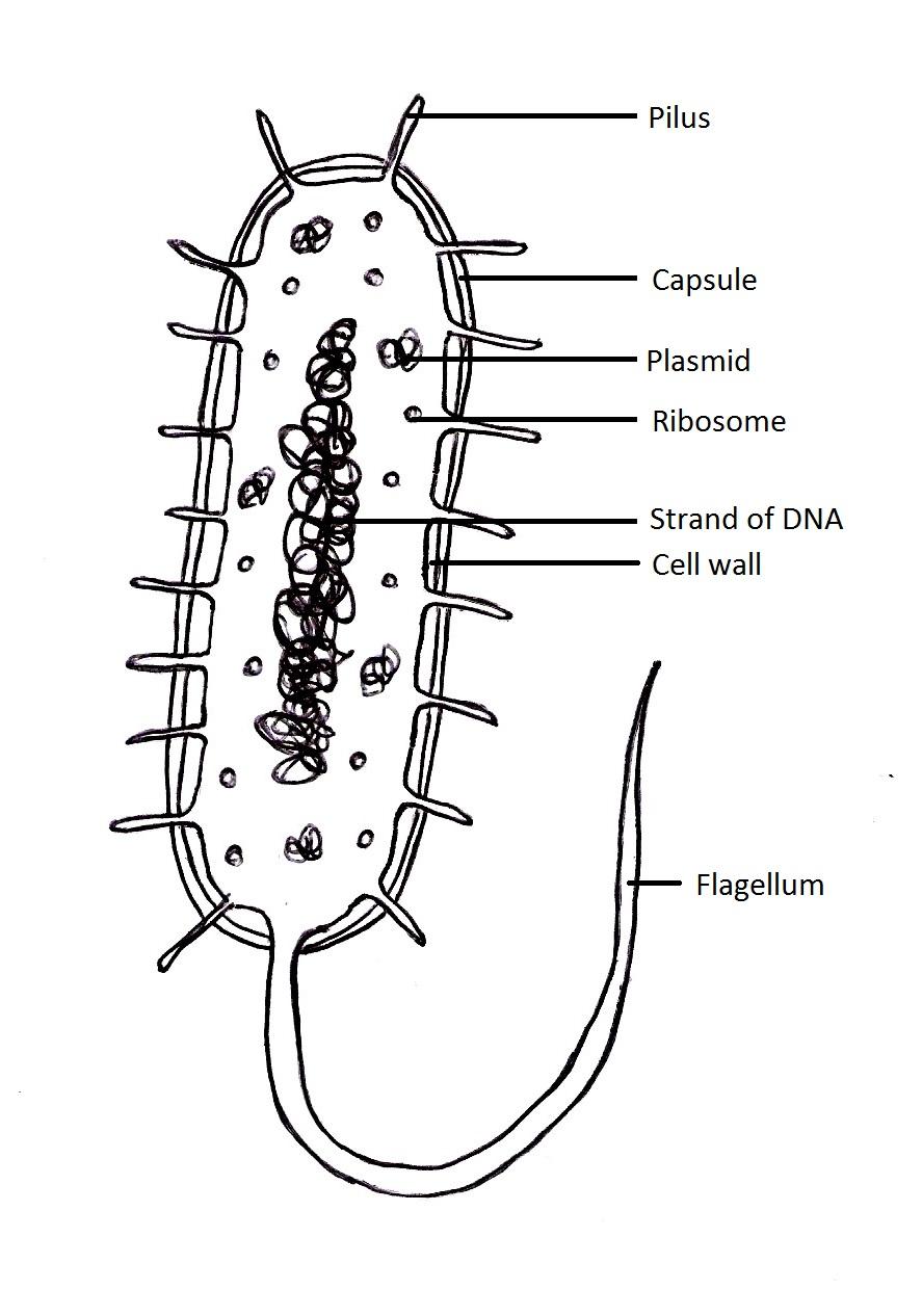 diagram of euglena labled