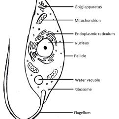 Simple Easy Plant Cell Diagram Animal Dsl Splitter Wiring Protist | Tentative Scientist