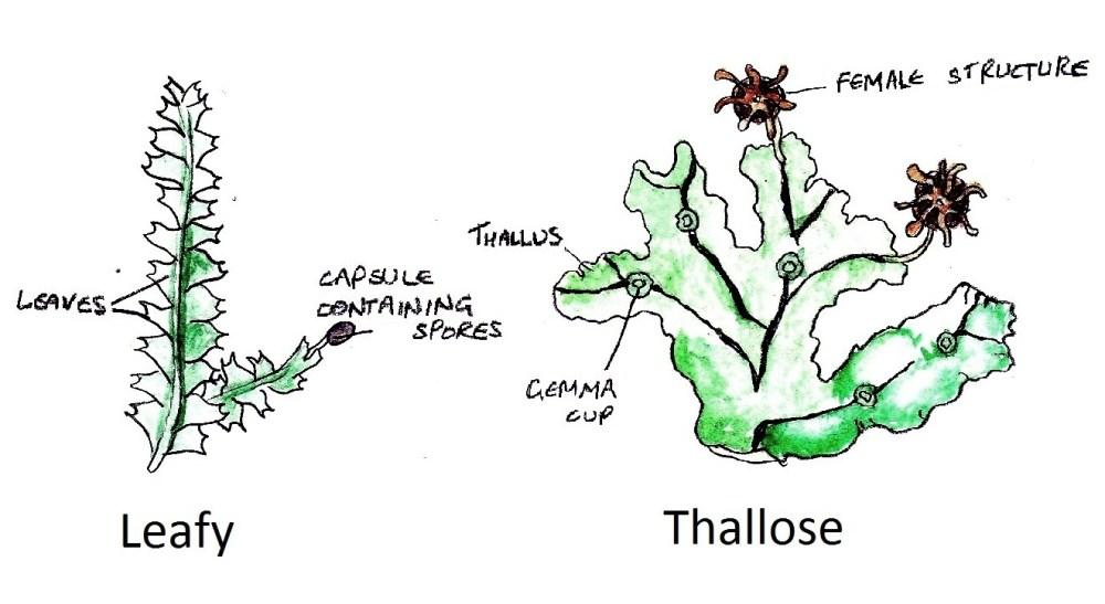 medium resolution of leafy and thallose