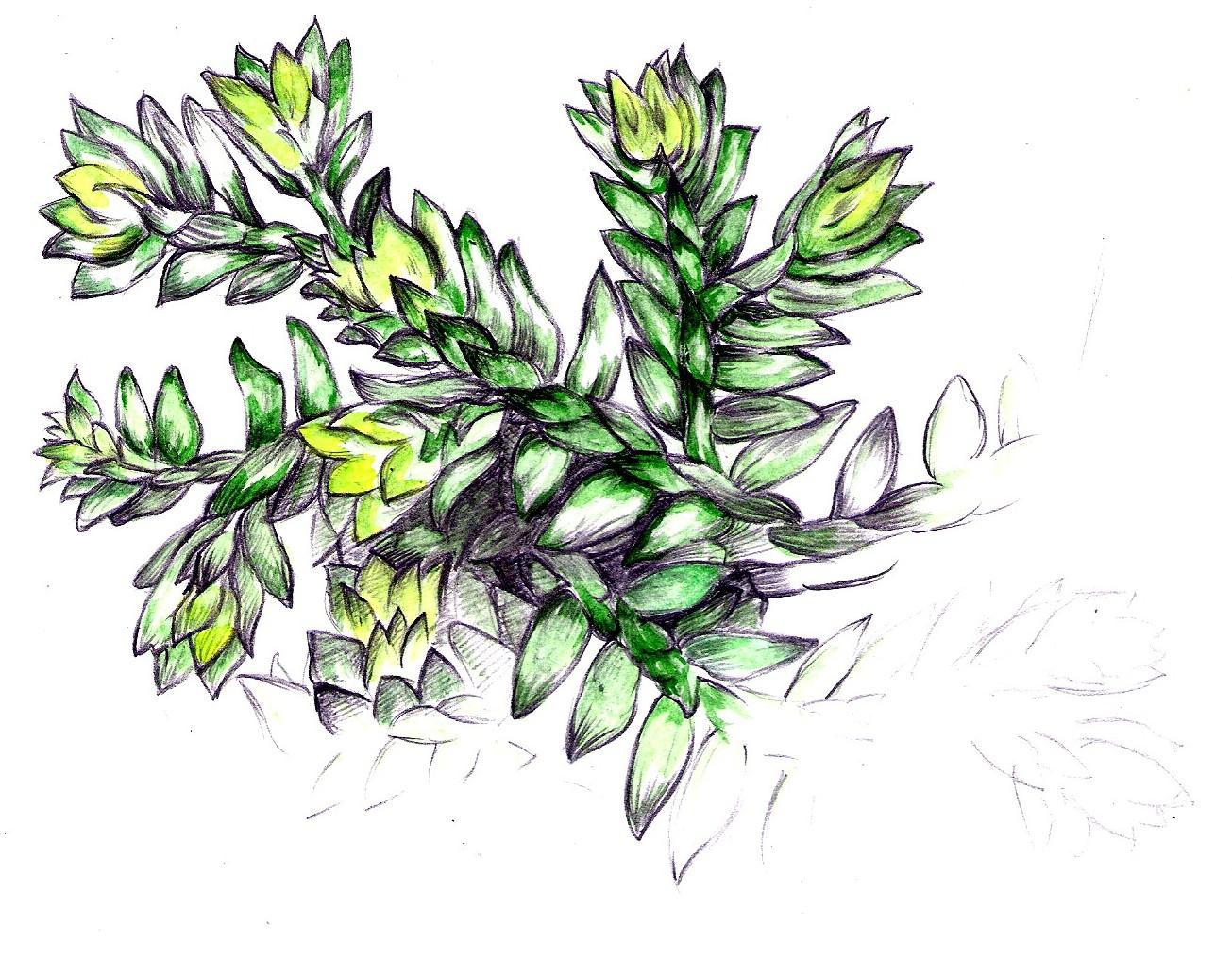 hight resolution of clubmoss selaginella kraussiana