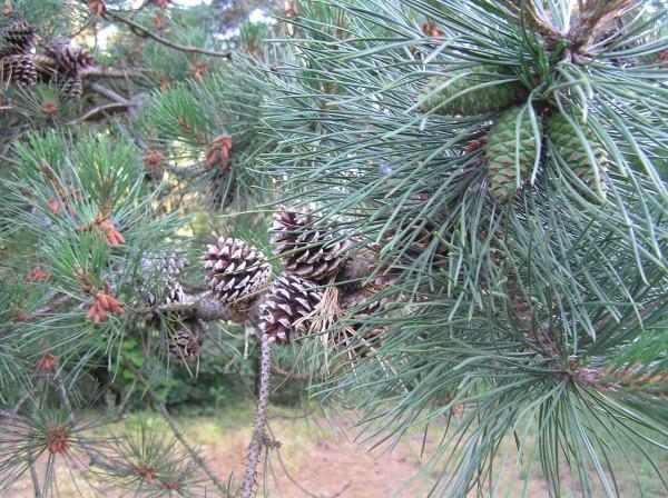 Plant Divisions Conifers Tentative Scientist