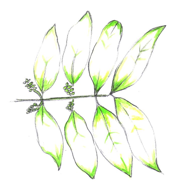 Plant Divisions Gnetophyta Tentative Plant Scientist