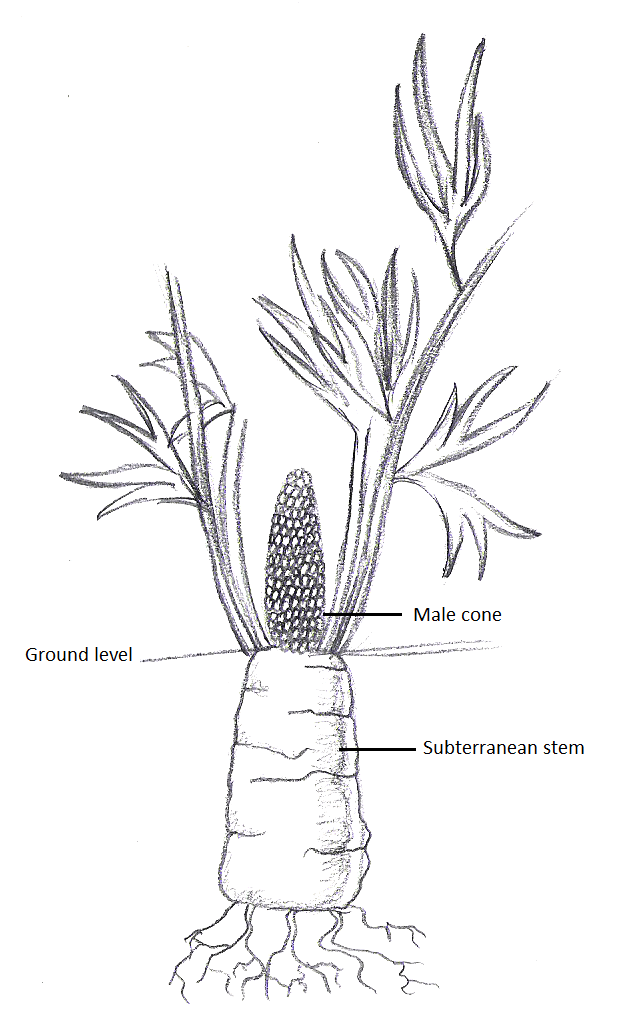 carrot plant diagram wiring for jackson guitar cycads | tentative scientist