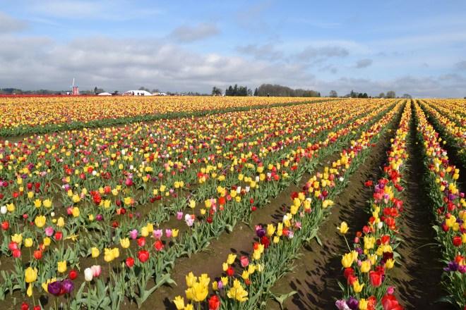 Woodburn Tulip Festival - Ten Thousand Hour Mama