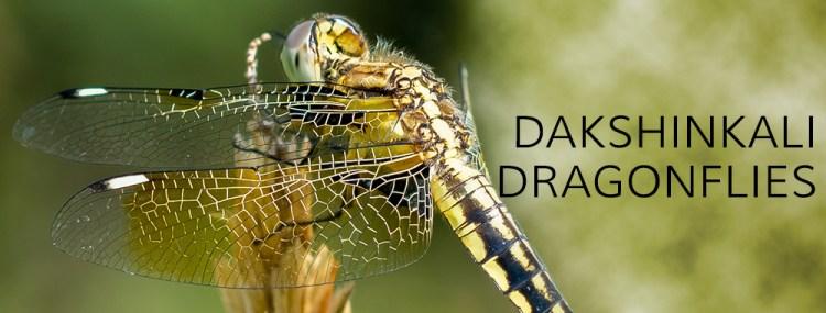 Dakshinkali Dragonflies poster