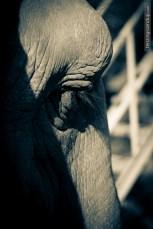 elephant eyes