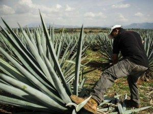 Jimador at work.  Courtesy of the Consejo Regulador del Tequila.