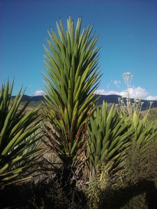 Agave Madre cuishe