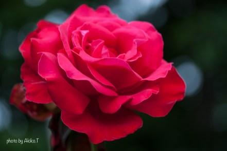 akiko_rose-1-4