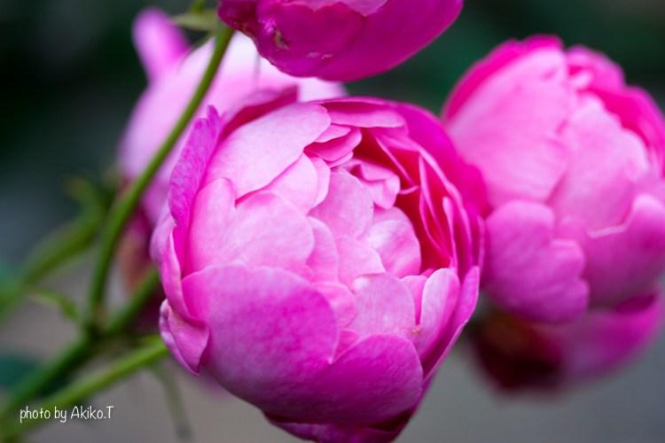 akiko_rose-1-5