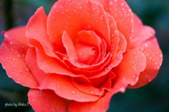 akiko_rose-13