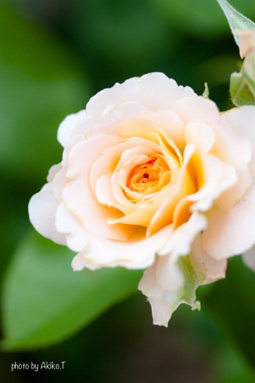 akiko_rose-17