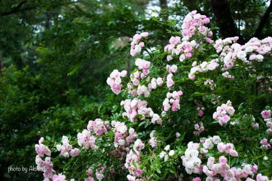 akiko_rose-28