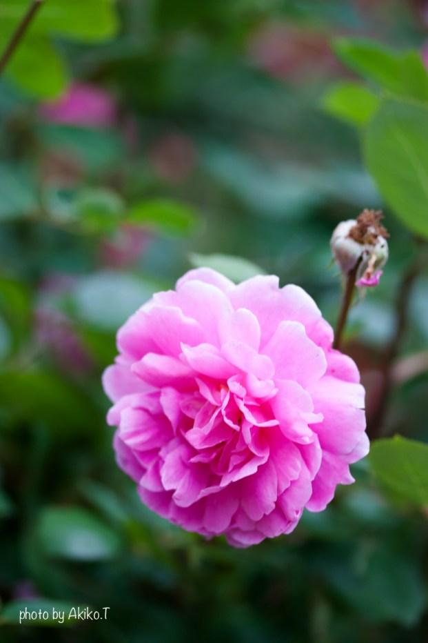 akiko_rose-37