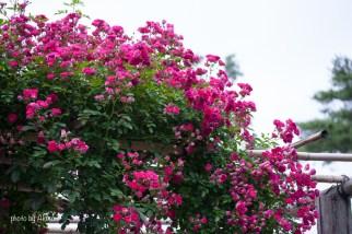 akiko_rose-38