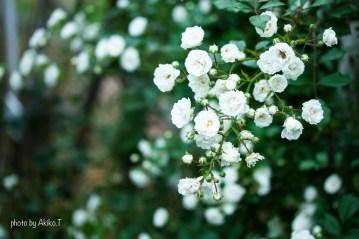 akiko_rose-42