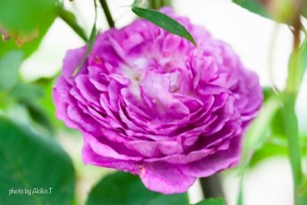 akiko_rose-43
