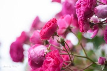 akiko_rose-46