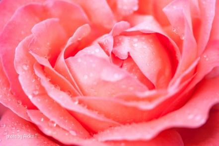 akiko_rose-5