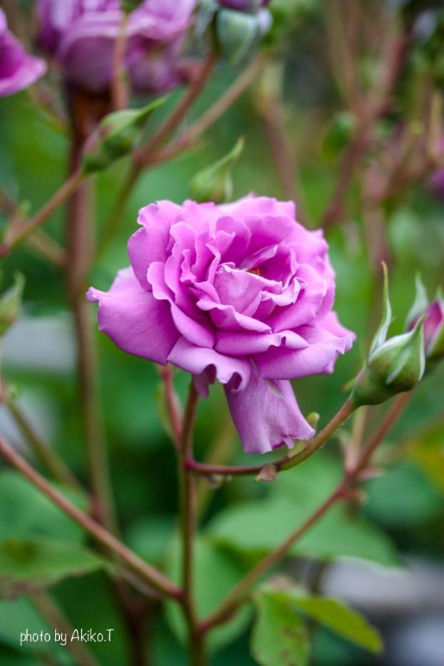 akiko_rose-51