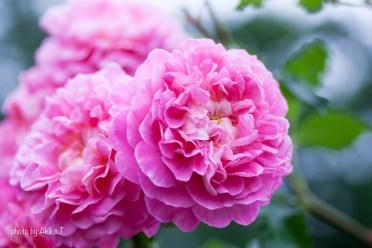akiko_rose-53