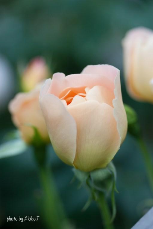 akiko_rose-71