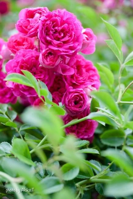 akiko_rose-77