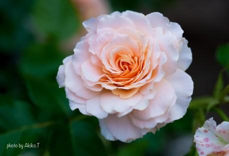 akiko_rose-8