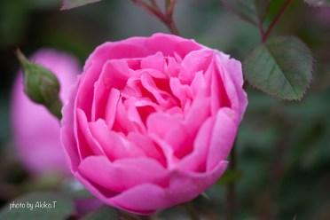 akiko_rose-80