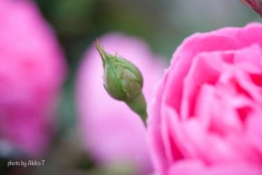 akiko_rose-81