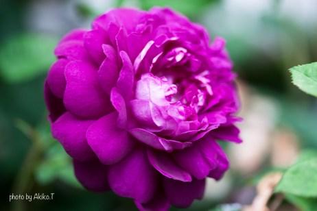 akiko_rose-83