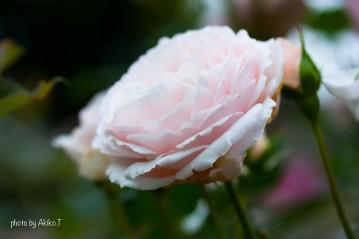 akiko_rose-84