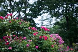 akiko_rose-94
