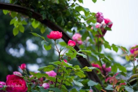 akiko_rose-96
