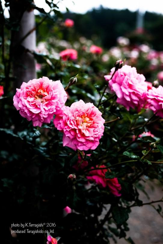 rose-34