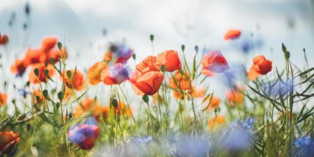 Jenis Bunga yang Wangi