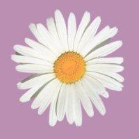 Shasta Daisy como floral - uma longa história de colaboração evolutiva entre pessoas e plantas