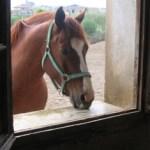 Cabeza de caballo asomado a una ventana