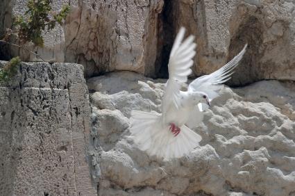 Dove at Wailing Wall, Jerusalem