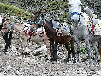Mountain horses on way to Hemkund, Himalayan India