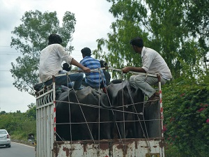Water buffalo on the way to market in Delhi