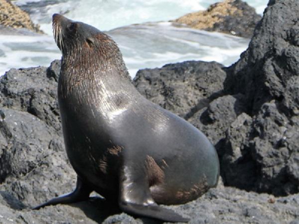 A seal basking on the rock (Boaz Rock Stack), Banks Peninsula, Canterbury NZ