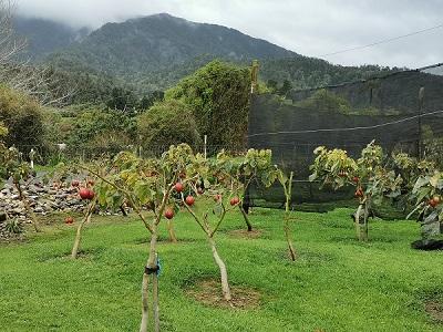 The Tamarillo-orchard