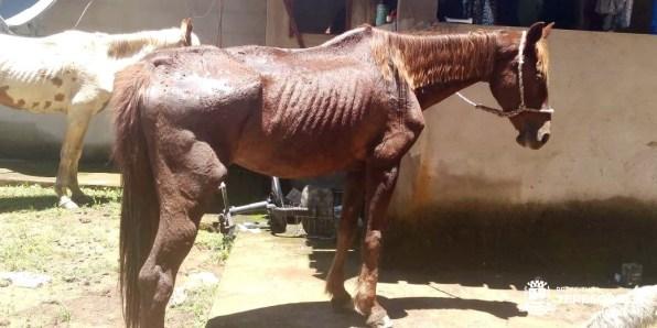 Dona de cavalos de raça é denunciada e autuada por maltratar os animais (2)