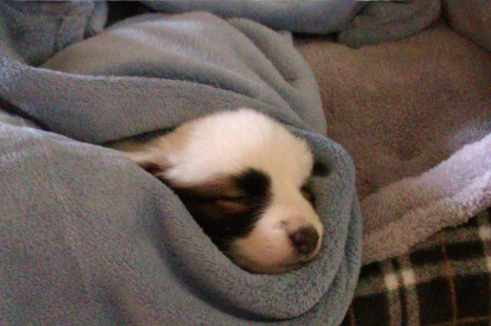 photo of the author's corgle puppy wrapped in a blanket