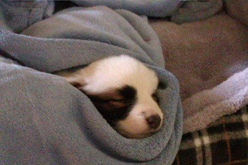 A puppy wrapped in a blanket