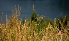 Természetfotók Karintiából - Alpesi növények