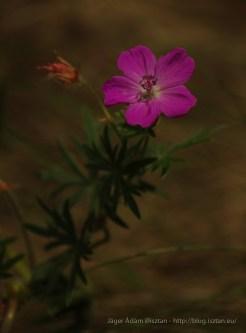 Geranium (Gólyaorr - Muskátli-rokon vadvirág) - természetfotók a Pilisből
