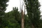 Kiszáradt fa a Kiskunságban